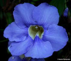 Thunbergia Grandiflora - Bengal clock vine - Ajaytao