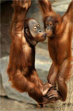 "these are the rescued orangutans from ""Orangutant Island' a sanctuary in Borneo. The Animals, Animals Kissing, Baby Animals, Funny Animals, Primates, Mammals, Vida Animal, Mundo Animal, My Animal"