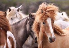 gigja einarsdottir, icelandic horses, iceland,  @portfoliobox