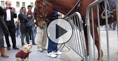 Adorable Frenchie Plays With NYPD Horse!