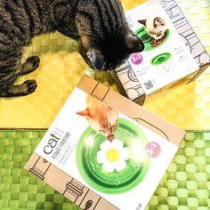 *Catit 猫用給水器 フラワーファウンテン *Catitの猫用食器 マルチフィーダー ・ ・ 4にゃんこへプレゼント。 フラワーファウンテンとマルチフィーダー。 マルチフィーダーはお留守番中のおやつ用に買いました。 穴にドライフード入れてホジホジして食べ過ぎ防止に。 また夜にレポpostします。 ・ ・ #catit #flowerfountain #flower #フラワーファウンテン #猫用品 #給水器 #食器  #猫 #ねこ #ネコ #愛猫 #猫大好き #cats #きじとら #キジトラ #キジトラ部 #保護猫出身 #にゃんこ #ねこ部 #猫族 #猫好きさんと繋がりたい #にゃんすた #にゃんすたぐらむ #ニャンスタグラム #ねこすたぐらむ #mycats #家猫 #猫と暮らす #ねこのいる生活