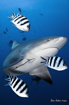 damsels & shark