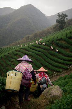Eco-Cha Responsibly Sourced Oolong Tea