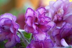 African violets come in a variety of colors.