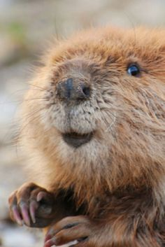 Why beavers are the smartest thing in fur pants (video Cute Wild Animals, Animals Beautiful, Funny Animals, Nature Animals, Animals And Pets, Baby Beaver, Le Castor, Wild Animals Photography, Fauna