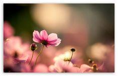 Pink Cosmos Flowers HD desktop wallpaper : Widescreen : High Definition : Fullscreen : Mobile : Dual Monitor