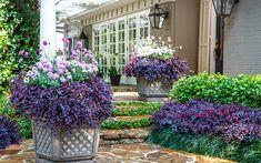 43 Best Fringe Flower Shrub Images In 2020 Garden Shrubs Plants