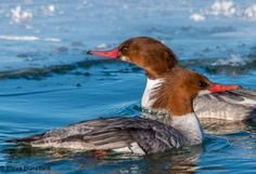 The Mergansers by Steve Dunsford on 500px