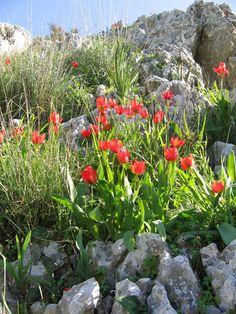 Mountain Tulips in Metulla