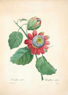 Pierre-Joseph Redouté - Passiflora alata