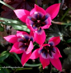 Spring Tulips (ourfairfieldhomeandgarden.com)
