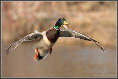 Mallard in flight. Hunting Art, Duck Hunting, Dogs With Jobs, Quack Quack, Mallard, Quail, Pictures To Paint, Bird Feathers, Beautiful Birds
