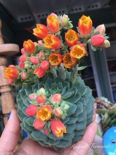 Cacti And Succulents – SkillOfKing.Com - Cactus Unusual Flowers, Unusual Plants, Cool Plants, Beautiful Flowers, Succulent Gardening, Cacti And Succulents, Planting Succulents, Planting Flowers, Growing Succulents