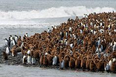 King penguins at Volunteer Point, Falkland Islands by Craig Jones
