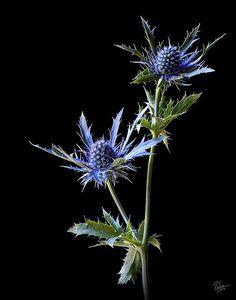 Thistle (Garden Name - Sea Holly) Silk Flowers, Blue Flowers, Spring Flowers, Thistle Tattoo, Handpoke Tattoo, Sea Holly, Aesthetic Drawing, Botanical Art, Flower Power