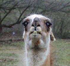 Llamas are life