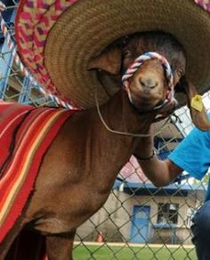 Goat in a sombrero! Goats In Sweaters, Awards, Nerd, My Style, Hats, Funny, Animals, Gypsy, Baby Shower