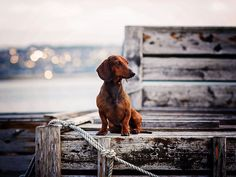 Dachshund | Spoerle • Dackelfotografi #dachshund | Spoerle • Dackelfotografie