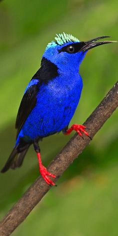 Red-legged Honeycreeper (Cyanerpes lucidus) Tropical regions from S Mexico to Peru, Bolivia, C Brazil, Trinidad & Tobago, Cuba.