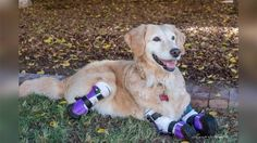 Chi Chi, a golden retriever, was rescued from a dumpster in South Korea and had her limbs amputated above the paws. Now, the therapy dog helps others.