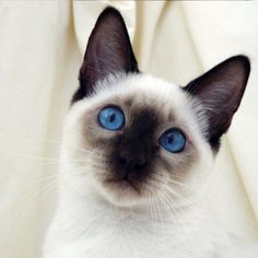 Siamese Cat - http://catbreedsinformation.com/siamese-cat/ For people that are looking for a medium sized, short coated cat breed, this is the cat for them. The Siamese Cat is a popular cat breed originally from Thailand.Some people may refer to this cat breed as a  Siam and Thai Cat because some cats are known by different names.Siamese Cat owners have really enjoyed their time with this feline companion and noted that they are active, smart, and playful.There are many happ