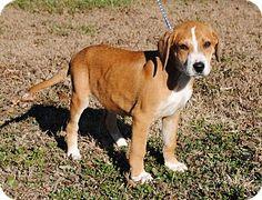 Parsons, KS - Beagle Mix. Meet Reggie, a puppy for adoption. http://www.adoptapet.com/pet/14355366-parsons-kansas-beagle-mix