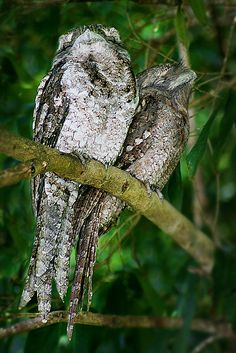 Papuan frogmouths--maybe if we close our eyes he'll go away.
