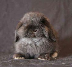 Baby Mini Lop Rabbits | Cashmere Mini Lop baby bunnies/ rabbits
