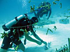 Transplanting living coral to the reefs of Key Largo.