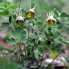AQUILEGIA viridiflora  (Ancolie - Ancolie chocolat) : Plantes estimées depuis longtemps dans les jardins. Aime les sols légers, humifères. Élégant feuillage vert, veiné, ombré de rose et découpé en fines folioles. Fleurs originales, couleur chocolat, avec des éperons vert violacé. Étamines jaune chartreuse.