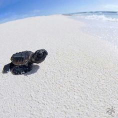 Precious Baby Sea Turtle on a pristine white beach