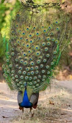 Beautiful peacock / > one of my favorite photos of a peacock. But don't know original source? Peacock Images, Peacock Pictures, N Animals, Nature Animals, Exotic Birds, Colorful Birds, Beautiful Birds, Animals Beautiful, Peacock Bird