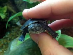 Baby African Mud Turtle at Northampton Reptile Centre!!