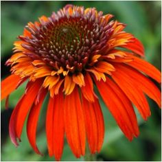 Coneflower 'Hot Papaya' going in this spring...into the new garden!
