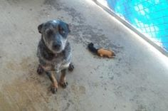 Jake is an adoptable Australian Cattle Dog (Blue Heeler) Dog in Johnson City, TN. Female dogs are 95.00. Male dogs are 80.00. This pays for their spay or neuter. If they are already spayed or neutered...