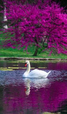 """The Swan,"""" with Yo-Yo Ma. """"Le Cygne illustrates the fleeting nature of beauty, with its interpretation of the legend of the """"swan song."""" This piece soothes and calms me."""