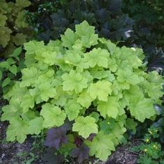 Heuchera x villosa 'Citronelle' Most images considerably more strident yellow-chartreuse.