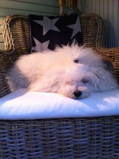 Bolognese dog Bolognese Puppies, Bichon Bolognese, Happiness, Warm, Dogs, Animals, Animales, Bonheur, Animaux