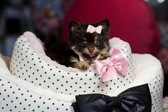 ♥♥♥ Teacup Pomeranian's! ♥♥♥ Bring This Perfect Baby Home Today! Call 954-353-7864 www.TeacupPuppies... ♥ ♥ ♥ TeacupPuppiesStore - Teacup Puppies Store Tea Cup