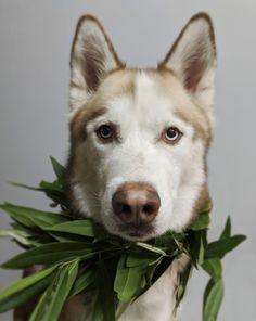 Bi eyed red husky dog, garland collar.