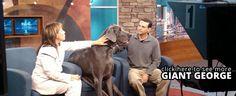 Giant George | World's Biggest Living Dog & Tallest Dog Ever -