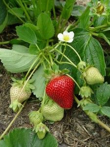 Growing Strawberries, This is a very complete guide, great