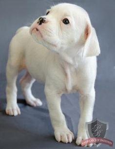 ♥ white boxer puppy….