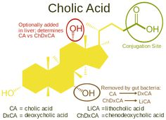 Bile Acid -See how to lower cholesterol naturally at: http://vitamins.vitanetonline.com/