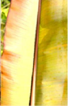 Banana Sulphur