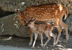 Baby-Deer-And-Mother-02-431x300