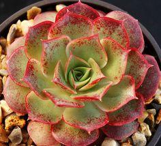 Echeveria longissima ... [Full/partial sun, USDA 9 to 12, AHS 12 to 1, Dry, Drought tolerant]