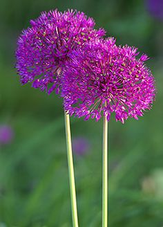 """Purple Sensation"" Allium. Plant in clumps, full sun. Bloom time - May through July."