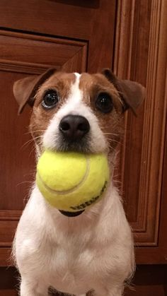 14 Jack Russell Terrier Pictures That Make You Want To Play With Them Jack Terrier, Parson Russell Terrier, Rat Terriers, Terrier Dogs, White Terrier, Jack Russell Terriers, Parson Jack Russell, Terrier Mix, Chien Jack Russel