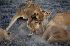 """The Vumbi females -- their pride name is Swahili for """"dust"""" -- kill a warthog they've dragged from its burrow. Such small meals help bridge the lean, hungry, dry season, when cubs may otherwise starve. Intimate National Geographic Portraits of the Serengeti Lion - In Focus - The Atlantic"""